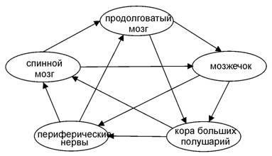 Пентаграмма категорий для нервной системы человека